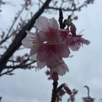 今帰仁城跡の桜まつり♪